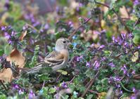 花絡みのアトリ - 今日も鳥撮り