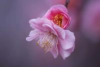 梅とメジロと、梅の花を食べるアトリ - 子猫の迷い道Ⅱ
