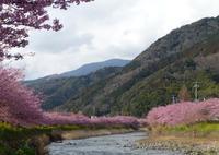 河津桜今が見頃 - 白壁荘だより  天城百話