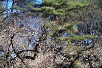 光が丘公園の梅の花 - お散歩写真     O-edo line