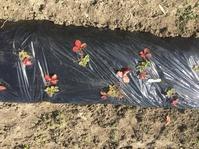 イチゴのマルチ掛け - 「今日の一枚」
