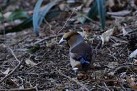 シメの青い羽 02月19日-2 - 旧サンヨン(Nikon 300mm f/4D)野鳥撮影放浪記