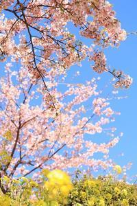春色 - かめらと一緒に。