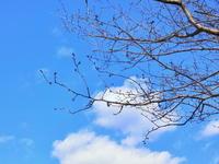きょうの桜 2月21日 - 出不精日記