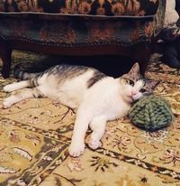 猫ちゃん用の「耳出しニット帽」をオーダー♪ - ♪♪♪yuricoz cafe♪♪♪