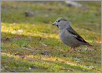 シメのお散歩 - 野鳥の素顔 <野鳥と・・・他、日々の出来事>