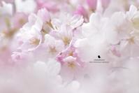 雪の華 - お花びより