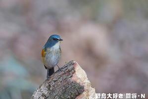 ルリビタキ - 野鳥大好き!闘将・N