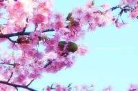初桜 - koharu*biyori