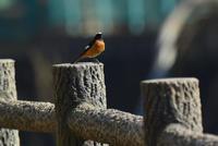 黒目川のジョウビタキ Daurian redstart - 素人写人 雑草フォト爺のブログ