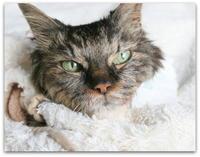 ご長寿猫 はんぞう との暮らし 「猫の日☆はんぞう&保護子猫たちの変寝顔集~」 - たびねこ