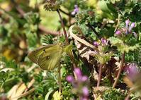 2月にチョウが舞う公園 - 公園昆虫記