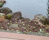 たくさん生えてきました - 金沢犀川温泉 川端の湯宿「滝亭」BLOG
