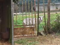 山羊のべぇちゃんにガールフレンド現はる。 - 『ココんちの(3+1)+1+1猫と一犬のたわごと』 (2+1)+1+1 Pitchouns et 2 Pitchounettes