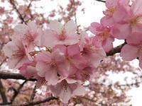 河津桜 - 花と香りと、そして雲