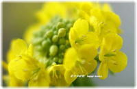 早咲菜の花が・・ - 花々の記憶  happy momo