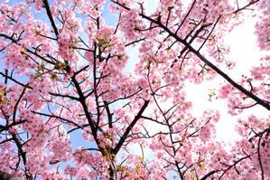 河津桜 - れふのマンボウな日々