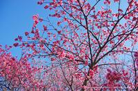 ヒカンザクラ - ~紅掛花色~