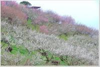 七折梅園は 7分咲き - ハチミツの海を渡る風の音
