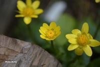 黄色い花、リュウキンカ。 - Season of petal