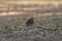 鵺(ぬえ)の正体 ~トラツグミ、その後はアトリの群れ - チョウ!お気に入り