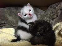 生後0日で保護されたの子ネコ(生後20日目) - Lucky★Dip666-II