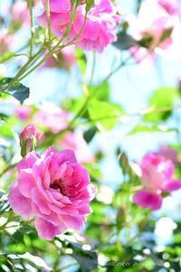 バラ ブリリアント ピンク アイスバーグ - 今日の小さなシアワセ
