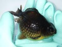 2月23日薩摩産金魚SALEだよ! - フルタニ金魚倶楽部blog