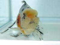 鈴木東(平成28年5月生まれ) - フルタニ金魚倶楽部blog