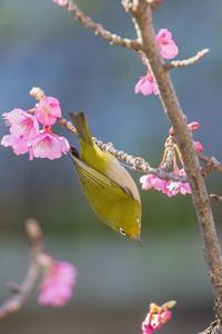 満開の寒緋桜とメジロ - あだっちゃんの花鳥風月