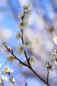 梅の花☆1 葛西臨海公園 - Let's Enjoy Everyday!
