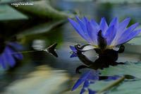 水浮花 - 長い木の橋