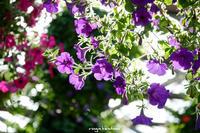 色とりどりの花 (花鳥園にて) - 長い木の橋