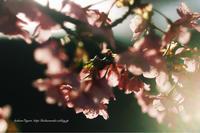 河津桜 - koharu*biyori