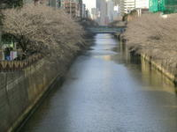 春はそこまで・・・目黒川の桜の蕾 - 陶芸ブログ 限 無 窯    氷裂貫入青瓷の世界