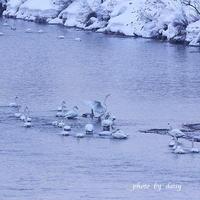 冬の白鳥 - ロマンティックフォト北海道☆カヌードデバーチョ