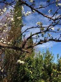 晴れた空、プラムの花も満開 - ちょっと田舎暮しCalifornia