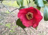 つらつら椿つらつらに - 花の自由旋律