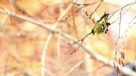 マヒワ - 北の野鳥たち