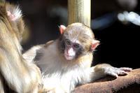 去年生まれた子猿たち - 動物園放浪記