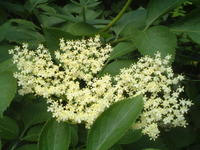 herb:エルダーベリー Sambucus nigra その2 - 英国メディカルハーバリスト