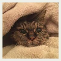 ご長寿猫 はんぞう との暮らし 「2月11日~2月15日の はんぞう」 - たびねこ