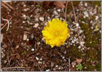早春の花 - 野鳥の素顔 <野鳥と・・・他、日々の出来事>