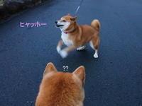 あずきちゃん・・・はじける(^O^) - 柴犬すみれといっしょ