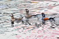 """シノリガモ(晨鴨)/Harlequin duck - 「生き物たちに乾杯」 第3巻 """"A Toast to Wildlife!"""" vol. 3"""