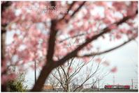 河津桜の中を - 明日には明日の風が吹く