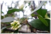 白い沈丁花も もうすぐ咲きそうです - 日々楽しく ♪mon bonheur
