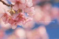cherryblossom - koharu*biyori
