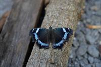 春一番に出会えた蝶 - 旅のかほり