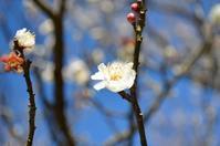梅を観に田浦へ行って来ました - たまにしかやる気を出さないブログ